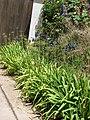 Starr-090520-8151-Agapanthus praecox subsp orientalis-deep purple flowers-Keokea-Maui (24862574011).jpg