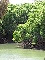 Starr-090616-0702-Syzygium cumini-habit by reservoir-Hamakuapoko Paia-Maui (24337519043).jpg