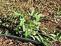 Starr-090810-4161-Citrullus lanatus-young plant in garden-Olinda-Maui (24676519850).jpg