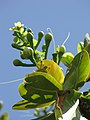 Starr-090813-4190-Barringtonia asiatica-spent flowers-Kamalii Park Kahului-Maui (24344616593).jpg