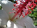 Starr-091104-0769-Hibiscus waimeae-stamens-Kahanu Gardens NTBG Kaeleku Hana-Maui (24692056740).jpg