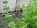 Starr-101228-6047-Ocimum basilicum-Monarch butterfly Danaus plexippus visiting flowers-Honokanaia-Kahoolawe (24763773720).jpg