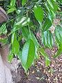 Starr-110209-0904-Ficus benjamina-leaves-Resort Management Group Nursery Kihei-Maui (24981574621).jpg