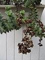 Starr-110218-1567-Crassula perforata-flowering habit-Ulana St Makawao-Maui (24709088719).jpg