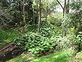Starr-110307-2375-Monstera deliciosa-habit in gulch-Kula Botanical Garden-Maui (24709249399).jpg