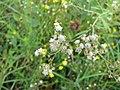 Starr-110503-5487-Parthenium hysterophorus-flowers-Kula-Maui (25068514106).jpg