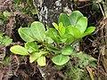 Starr-110722-7387-Polyscias oahuensis-leaves and flowers-Waihee Ridge Trail-Maui (24470317644).jpg