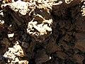 Starr-110727-8040-Bidens pilosa-habitat with pupa of Procecidochares sp on rock-Polipoli-Maui (24475237363).jpg