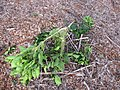 Starr-111116-1304-Citrus sinensis-Washington navel damaged by deer-Hawea Pl Olinda-Maui (25120126865).jpg