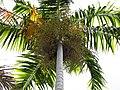 Starr-120522-6491-Carpentaria acuminata-crown and flowers-Iao Tropical Gardens of Maui-Maui (25143807615).jpg