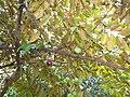 Starr-130312-2240-Chrysophyllum cainito-canopy fruit and leaves-Pali o Waipio Huelo-Maui (25113765211).jpg