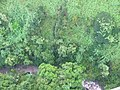 Starr-141014-5108-Caesalpinia decapetala-aerial view stream-Kakipi Gulch Haiku-Maui (25154292791).jpg