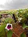Starr-141217-2958-Ipomoea batatas-flowering habit with sweet potato hornworm Agrius cingulata larva-Lua Makika-Kahoolawe (25156181171).jpg