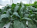 Starr-170615-0243-Brassica oleracea-leaves kale-Hydroponics Town Sand Island-Midway Atoll (36223747971).jpg