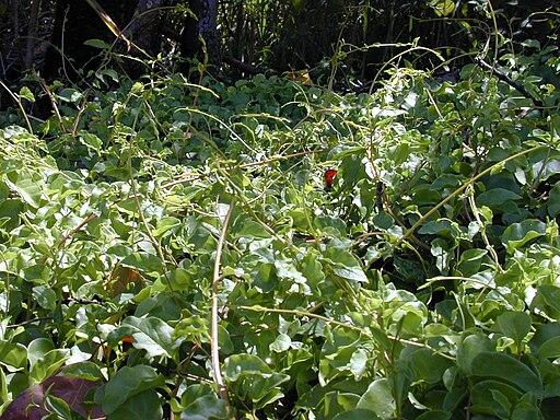 Starr 010425-0066 Anredera cordifolia