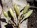 Starr 020501-0044 Cinchona pubescens.jpg