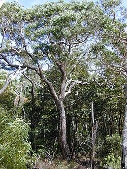 List of Acacia species | Revolvy
