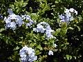 Starr 030418-0070 Plumbago auriculata.jpg