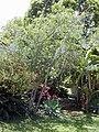 Starr 030418-0138 Prunus persica.jpg