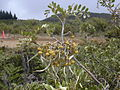 Starr 030603-0019 Sophora chrysophylla.jpg