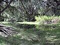 Starr 040121-0023 Casuarina equisetifolia.jpg