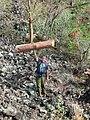 Starr 041223-2171 Erythrina sandwicensis.jpg