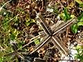 Starr 050224-4426 Dactyloctenium aegyptium.jpg
