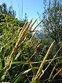 Starr 050315-5198 Eragrostis variabilis.jpg