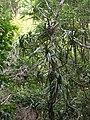 Starr 051113-5228 Freycinetia arborea.jpg