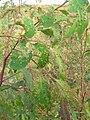 Starr 051123-5434 Eucalyptus botryoides.jpg