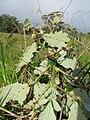Starr 051123-5453 Rubus discolor.jpg