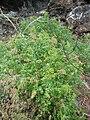 Starr 060228-8915 Chenopodium oahuense.jpg