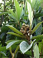 Starr 061205-1873 Eriobotrya japonica.jpg