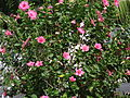 Starr 070123-3590 Hibiscus rosa-sinensis.jpg