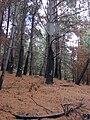 Starr 070908-9171 Pinus sp..jpg