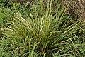 Stem Rust - Puccinia graminis on Tall Fescue - Festuca arundinacea (44633776515).jpg