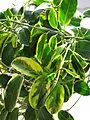 Stephanotis floribunda variegata 32.JPG