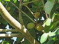 Sterculia apetala fruits - Frutas de Sterculia apetala, árbol Panamá J.JPG