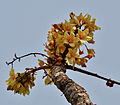 Sterculia villosa flowers at Jayanti, Duars, West Bengal W Picture 243.jpg