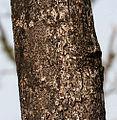 Sterculia villosa trunk at Jayanti, Duars, West Bengal W Picture 239.jpg