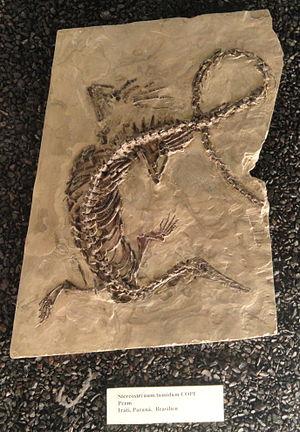 Stereosternum - Fossil in Naturmuseum Senckenberg