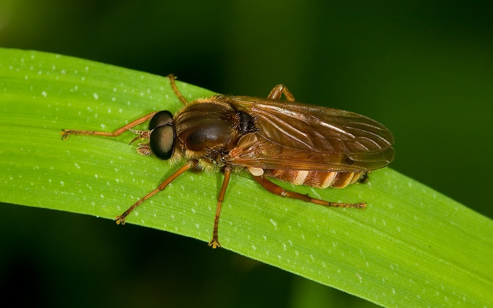 Stinkfliege Coenomyia ferruginea male
