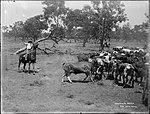 Stockmen and cattle, 1890-1900 (4903251919).jpg