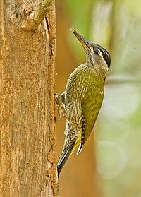 Streak-throatted Woodpecker @ Nilambur.jpg