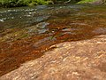 Stream Glory Female from Valparai Anamalai hills P1120024.JPG