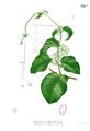 Streptocaulon baumii Blanco1.138b.png