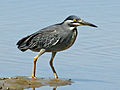 Striated Heron RWD7.jpg