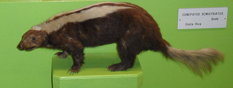 File:Striped hog nosed skunk.jpg