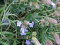 Strobilanthes sessilis var.sessilioides flower.jpg