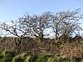 Stunted hawthorn - geograph.org.uk - 382704.jpg